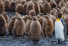 Königspinguine - Junges mit Elternteil