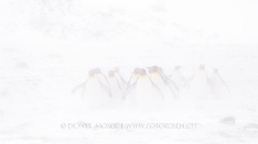 Königspinguine im Blizzard