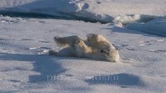Eisbär / Polarbear