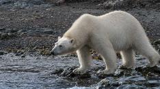 Eisbär am Testen der Luft