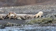 Eisbär am Walkadaver