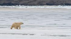 Eisbär auf dem Fjordeis