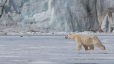 Eisbär auf der Jagd