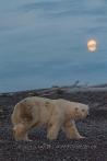 Eisbär bei Mondschein