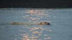 Eisbär bei Vollmond im Wasser