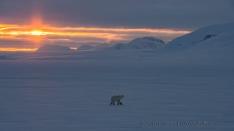 Eisbär im Sonnenaufgang