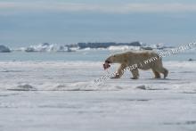 Eisbär Männchen mit Kill