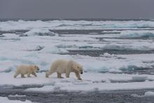 Eisbärenmutter mit Jungem auf dem Packeis