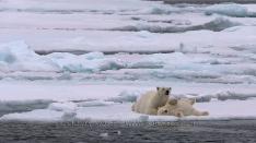 Eisbärenmutter  mit Jungem Eisbär auf dem Packeis