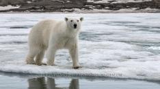 Grosser Eisbär