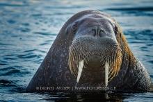 Junges Walross-Männchen
