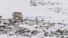 Polarfuchs und Rentier