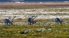 Rentiere im arktischen Wollgras
