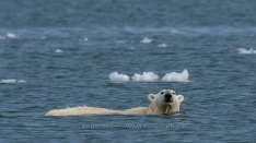 Schwimmender Eisbär