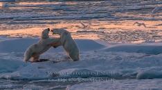 Eisbären - Gerangel
