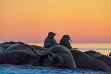 Walrosse nach Sonnenuntergang